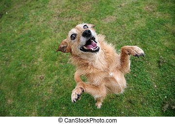 Dog standing on hind legs - Cute scruffy terrier dog...