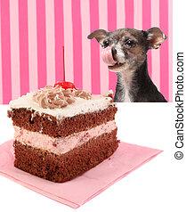 Dog staring at cherry chocolate cake - Chihuahua dog licking...