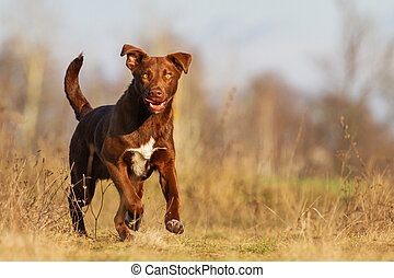 dog sticking out his tongue runs across the field