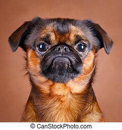 dog - Petit Brabancon dog
