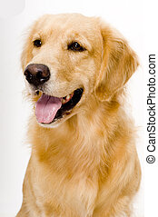 Dog - A beautiful golden retreiver dog photographed in...