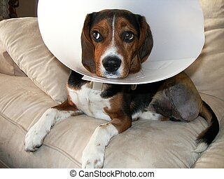 Dog Suffering - Litlle puppy beagle Hugo had his leg...