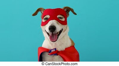 Dog super hero costume. little jack russell wearing a red ...