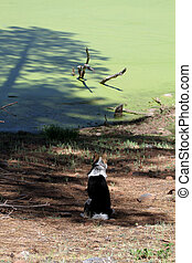 Dog Surveying Bootleg Lake, AZ - Dog watches frogs in the...