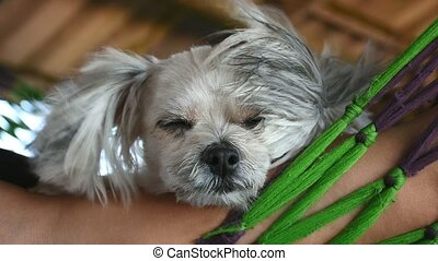 Dog sweet sleep for relax on bed pets when travel - Dog so...