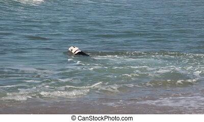 dog swim to fetch a ball
