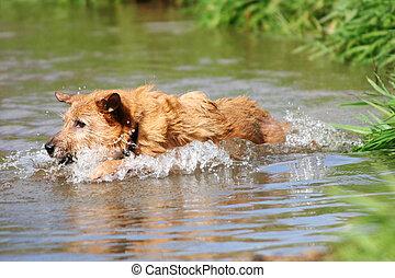Dog swimming in the creek - Cute scruffy terrier dog...