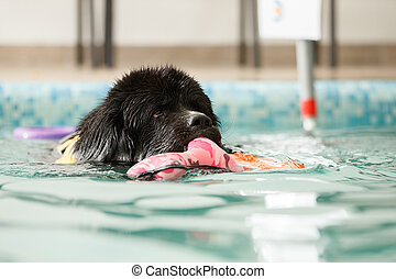 Dog swims in the pool with a toy