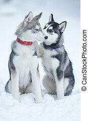 dog tenderness - two puppies of Siberian Huskies