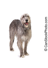 dog the Irish wolfhound