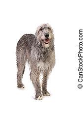 dog the Irish wolfhound