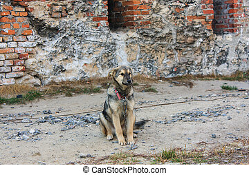 dog tied to a chain - Small dog tied to a chain