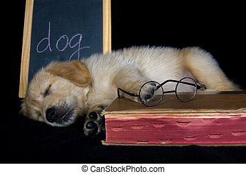 Dog Tired - Sleeping golden retriever puppy with old book...
