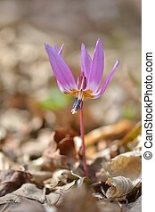Dog-tooth Violet (Erythronium dens-canis) in nature