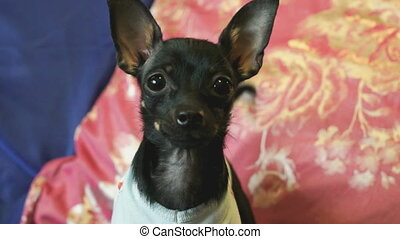 Dog toy-terrier barks and poses on the camera