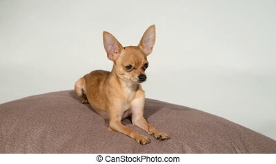 Dog toy terrier on a pillow on a white background. - Dog toy...