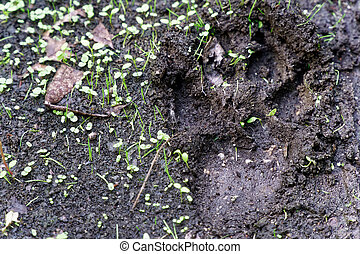 Dog track in mud. Animal footprint on the road in close up view.