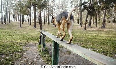 Dog training. Sheepdog breed dog trained