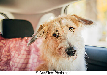 Dog travel by car looking out of the window