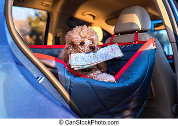 Dog traveling in a car seat the front seat of a car. Dog with a map.