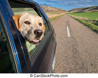 Dog Traveling in Car - dog poking his head out the window of...
