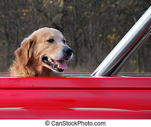 Dog traveling in the red car