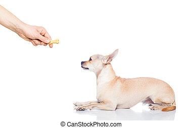 chihuahua dog getting a cookie as a treat for good behavior, isolated on white background