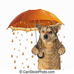 Dog under a orange umbrella 2