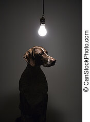 Dog under light bulb. - German Shorthaired Pointer with lit...