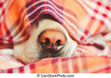Dog under the blanket - Snout of the sleepy dog (yellow...