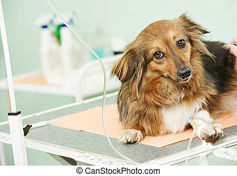 dog under vaccination in clinic - vaccine to the dog in...