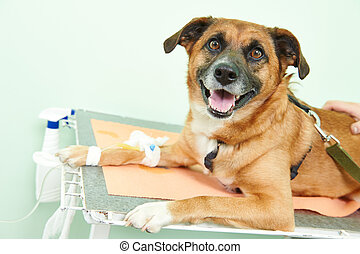 dog under vaccination in clinic - veterinary giving the ...
