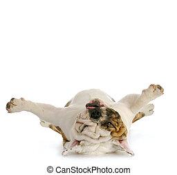 dog upside down - english bulldog laying on back looking up