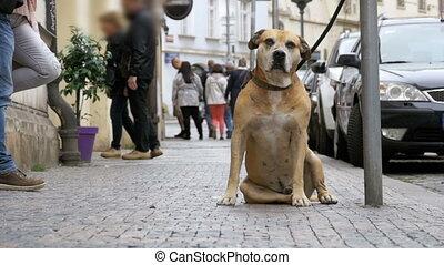 dog., vertragen, trouw, mensenmassa, verdrietige , gebonden, motie, straat, bergpas, onverschillig