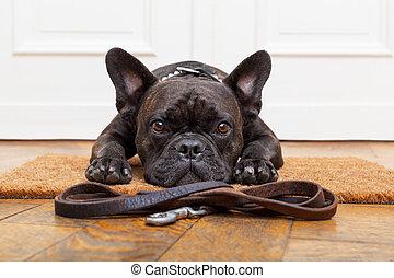dog waiting for walk - french bulldog dog waiting and...