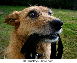 Dog waiting with her lead - Cute scruffy terrier dog waiting...