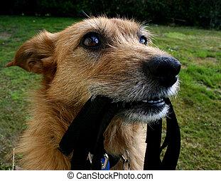 Dog waiting with her lead - Cute scruffy terrier dog waiting...