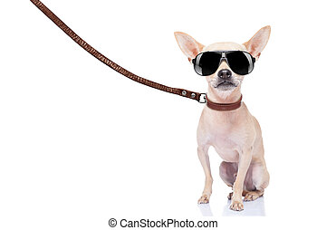 dog walker - chihuahua dog ready for a walk with owner , ...