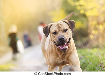 Dog walking - Beautiful purebred dog walking in the forest