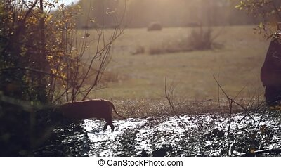 Dog walking in a mud puddle at autumn forest in sunny day