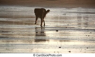 Dog walking in the beach shore in slow-mo - Beach with dog...