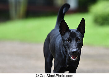 Dog Walking / The black dog walking and open your mouth on walkway in the garden - Asia Dog Thai