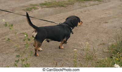 Dog walks on a leash with owner
