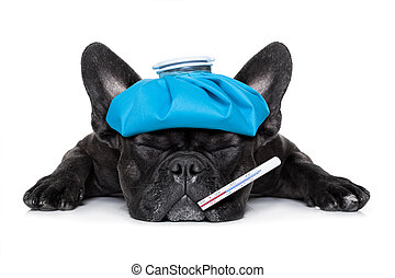 dog watching at you - french bulldog dog very sick with ice ...