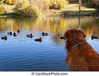 Dog watching ducks