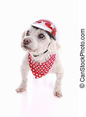 Dog wearing bike helmet and bandana - A small tough dog...