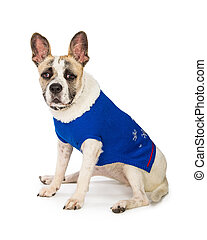 Dog Wearing Blue Winter Sweater