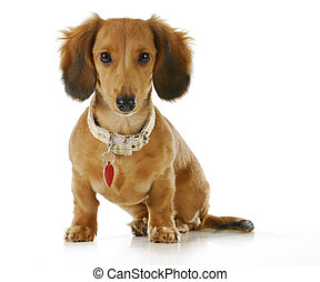 dog wearing collar and tag - puppy wearing collar and dog...
