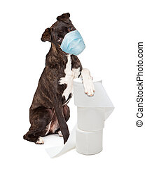 Pretty brindle coated Mountain Cur dog wearing protective surgical face mask sitting and raising one paw up on top of stacked rolls of toilet paper