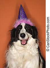 Dog wearing party hat. - Black and white Border Collie mix...